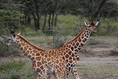 케냐 초원에서 기린 관찰