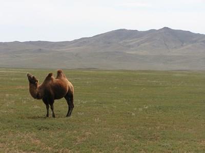 몽골 활동지의 들판에 있는 야생 낙타