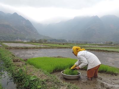 베트남 추수기간의 논 모습