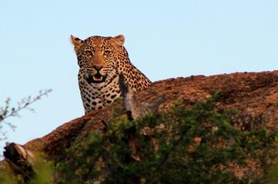남 아프리카 환경보호 프로젝트 봉사자가 야생 코끼리를 관찰하고 있다