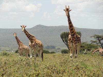 케냐 아프리카 사바나 보호 프로젝트 봉사자가 기린을 관찰하고 있다