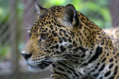 페루 아마존 열대우림 환경 보호 프로젝트 봉사자가 치타를 관찰하고 있다
