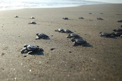 환경보호 프로젝트 봉사자가 활동하고 지내는 해변의 거북이들
