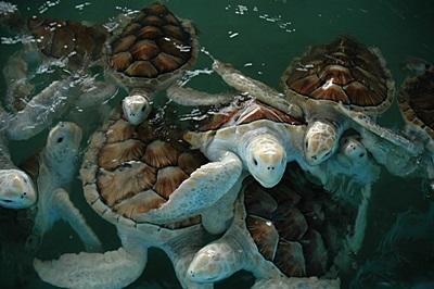 멕시코 환경보호 프로젝트에서 볼 수 있는 바다 거북