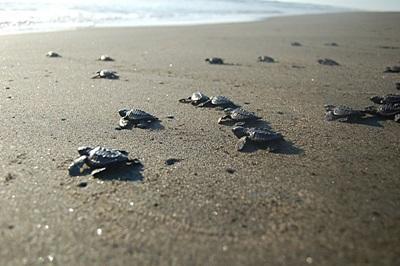 멕시코 환경보호 프로젝트의 일환인 거북 보호 활동