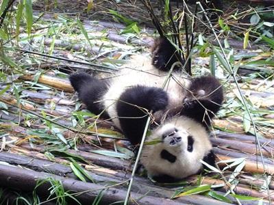 중국 동물보호 프로젝트에 참가한 고교새들이 동물 보호구역에서 돌보고 있는 팬더 곰의 모습