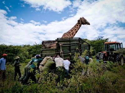 케냐의 사바나 프로젝트에서 사파리를 지프로 이동하는 환경보호 봉사자들