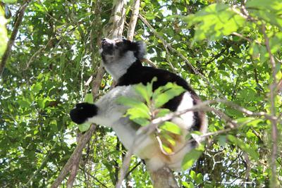 프로젝트어브로드 마다가스카르의 환경보호 프로젝트 여우원숭이 서식지 관찰