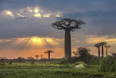 마다가스카르의 일몰과 바오밥 나무