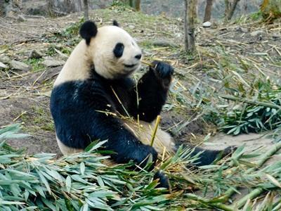 봉사자들이 프로젝트어브로드의 팬더곰 보호 프로젝트에서 일한다