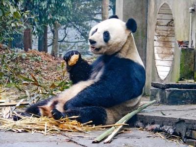 프로젝트어브로드의 동물보호 프로젝트 봉사자가 중국의 팬더곰 보호센터에서 일하고 있다