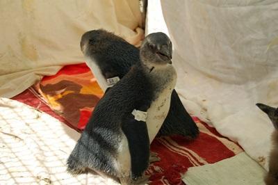 수의학 봉사자들이 남아공의 동물보호센터에서 펭귄들을 돌보고 있다